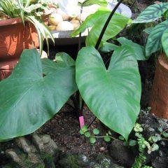 L'Alocasia : osez la plante tropicale pour un intérieur classe et tendance