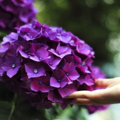 L'essentiel sur l'hortensia, un arbuste multicolore