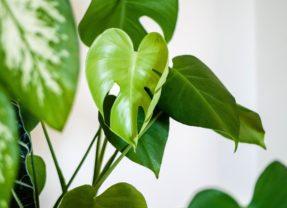 Des plantes d'intérieur fleuries tendance