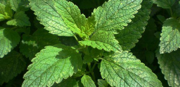 Quelques plantes anti-moustiques